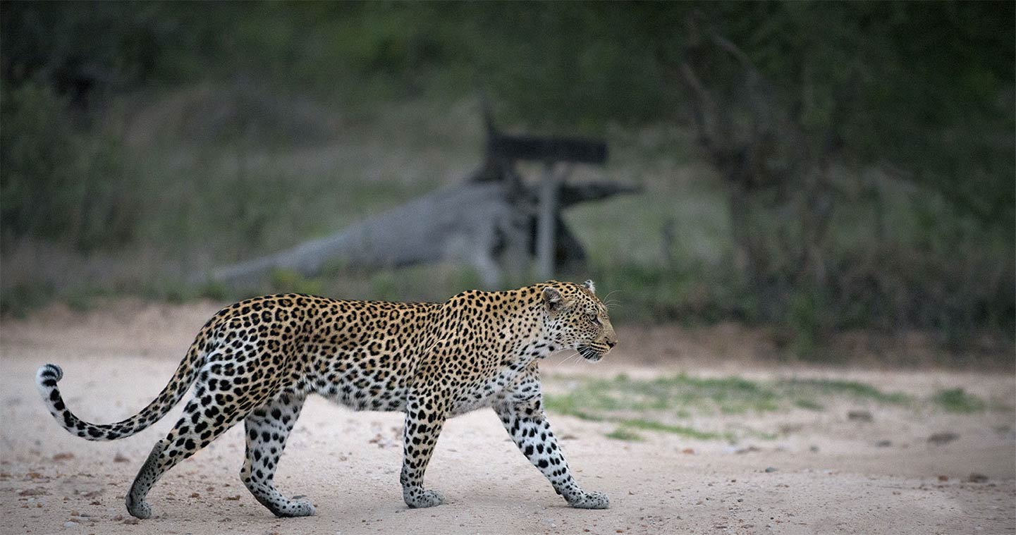 Big Five Safari in Timbavati Game Reserve - Leopard