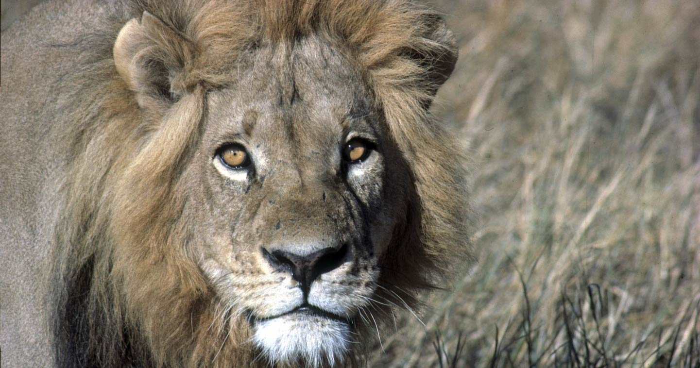 Timbavati lion spotted during a Big Five Safari in Greater Kruger